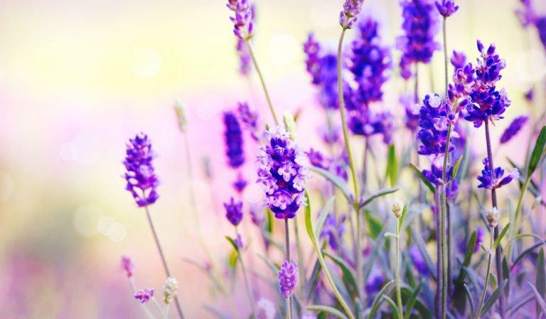 6 Anwendungsgebiete für Lavendel